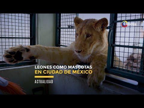 Ciudad de Mexico: Rugidos de leones causan panico en un barrio de la capital mexicana