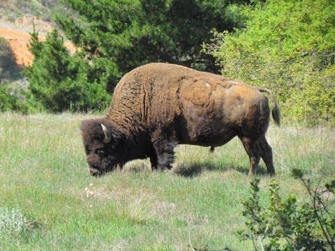 Buffalo tour in Santa Catalina Island in California.