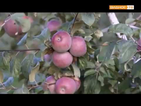 Сбор урожая яблок в Совхозе им. Ленина Ленинского района