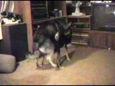 dog mating 2