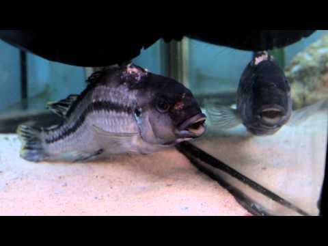Malawi Cichlid, RIP Killer X