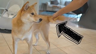 What Happens When I Grab My Dog's Tail?