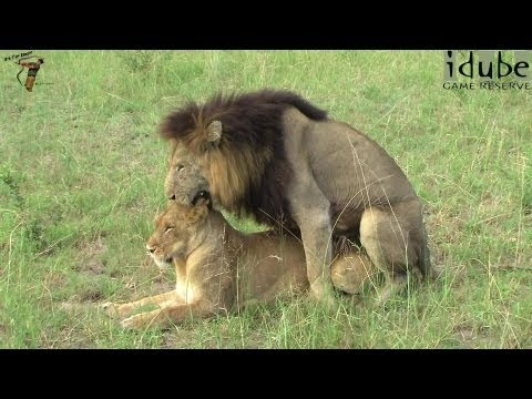 Sex In The Wild: Lions: Foreplay And Mating In High Definition! video