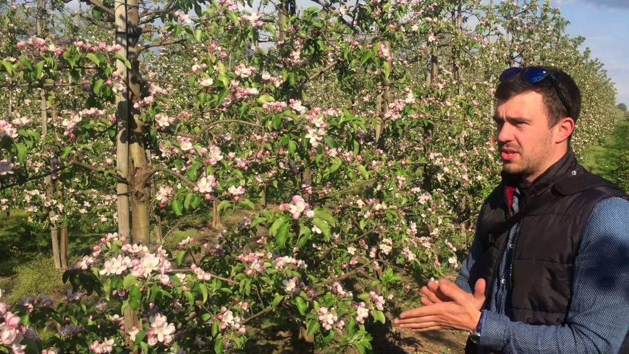 uprawa jabłek, kwitnienie jabłoni