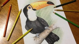 Speed Drawing - Tucano (Toucan)