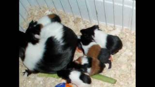 Hazel the Guinea Pig gives Birth to 8 Babies