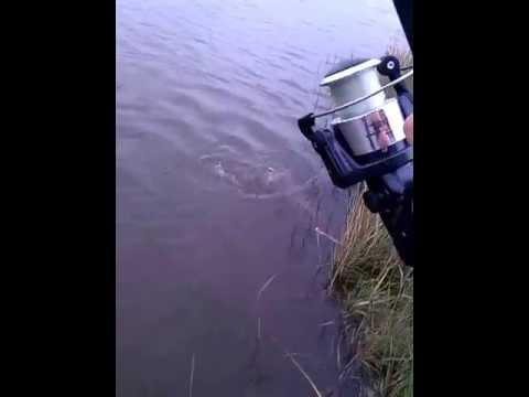 ловить сазана в хакасии