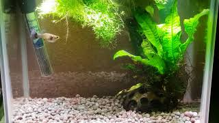 CROSS BREEDING GUPPIES AND ENDLERS