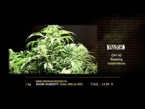 Kalashnikova - Green House Grow Sessions