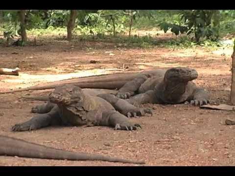 Komodo Dragon Island Indonesia Journey With Jamie Logan