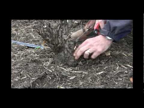 How to Prune Tree Peonies in Late Winter, Early Spring - Gurney's Video