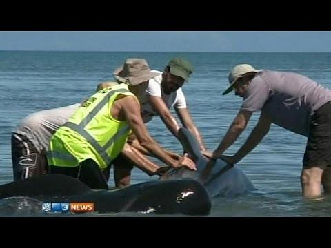 جنوح 200 حوت في نيوزيلندا