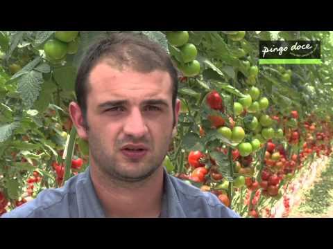 Produtor Tomate Pingo Doce