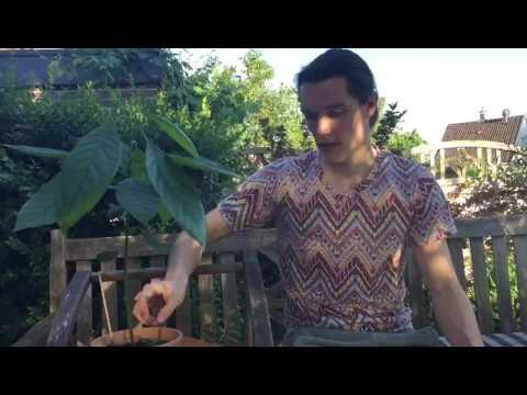Granatapfel durch Stecklinge vermehren