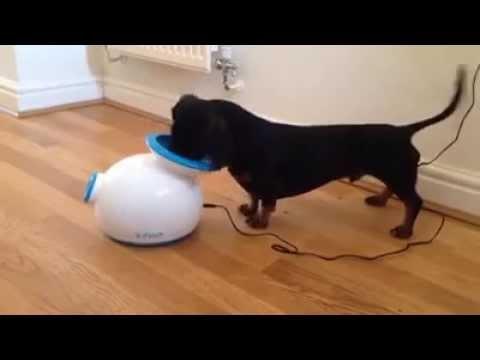 Perro salchicha juega solo con su lanza pelota