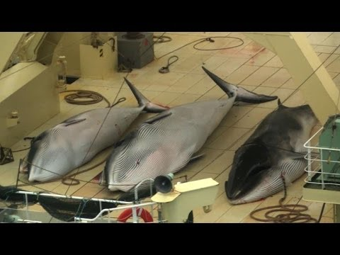 Sea Shepherd catches Japanese fleet, four whales dead
