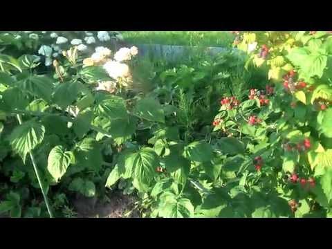 Черная малина Кумберленд и немного роз.