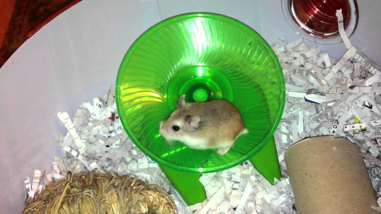 Crazy Hamsters Wheel my Crazy Hamster in His Flying
