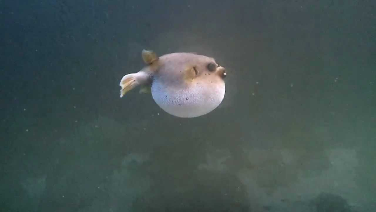 Dog face puffer aries all puffed up youtube for Dog face puffer fish