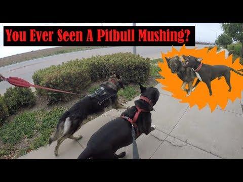 HUGE Pitbull And Long Fur German Shepherd MUSHING! Play Fighting