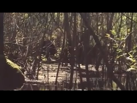 Compelling Footage of Skunkape/Bigfoot From Lettuce Lake Park Florida