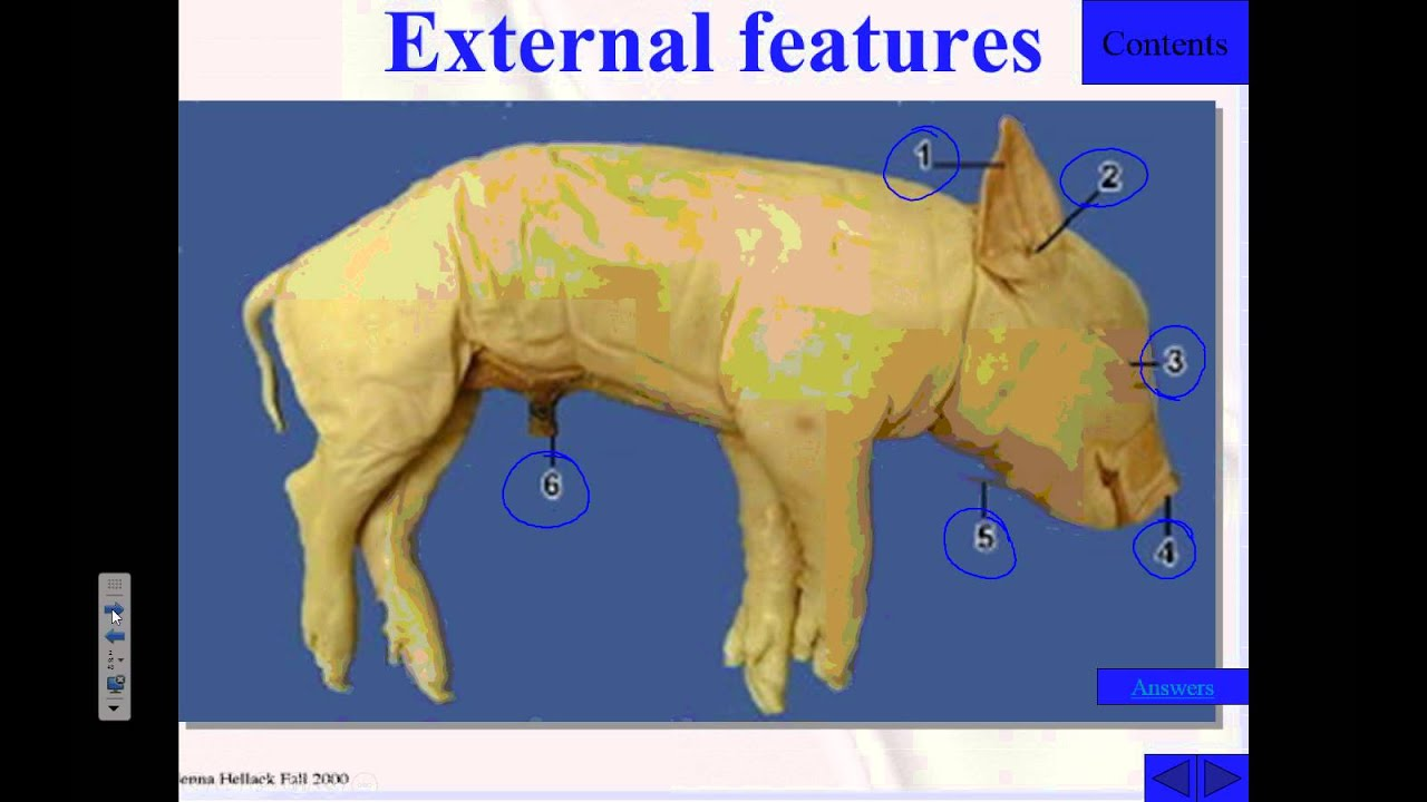 External anatomy of pig
