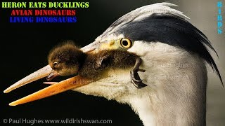 When a heron eats ducklings there is nothing a mother duck can do