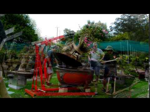Monster Bougainvillea Repot Red Dragon Bonsai Spring 2014