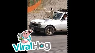 Barking Hood Ornament || ViralHog