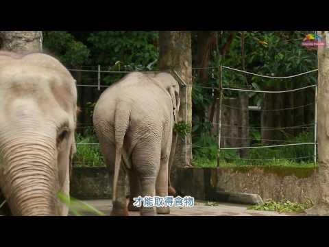 台灣-臺北市立動物園-EP 155 亞洲象打拳擊沙包?行為豐富化玩具啦!