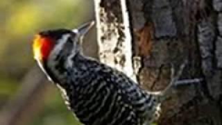 Tips Perawatan Burung Pelatuk Bawang agar Gacor untuk Masteran