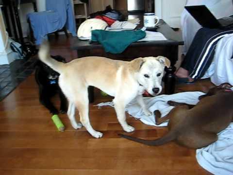 moshi up for adoption labbeagle mix youtube