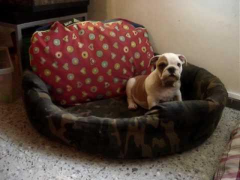 Bronco Cachorro Bulldog Ingles Jugando En Su Cama Youtube