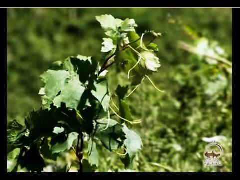 Виноделие в Узбекистане. Солнечные вина Узбекистана.