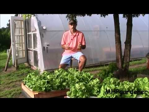 Hydroponic Update  Warm Weather Lettuce And Dutch Bucket Tomatoes