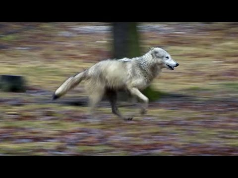Wolf vs Dog Intelligence Test | Bang Goes The Theory | Brit Lab | BBC