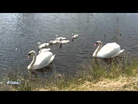 Swan Lake / Zwanenmeer,  muziek van  Tsjaikovski
