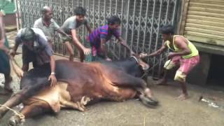 big bull Qurbani - Eid ul Azha 2016 - Bangladesh