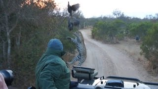 Surprise Leopard Hunt In Front Of Safari Jeep