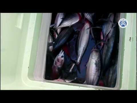 かつお一本釣り漁法「宮崎かつお船団」