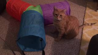 Max and Mya Get a Fun Tunnel! Siamese and Orange Tabby Cats :)