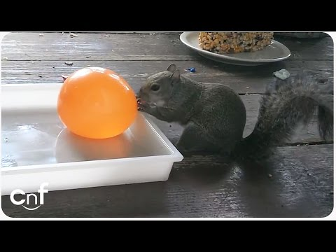 Squirrel Vs Water Balloon | Curiosity Wet the Squirrel