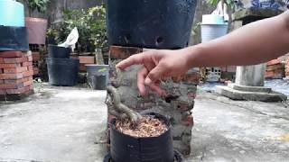 Mẹo sử lý cây mai lỡ bị khô da cực kỳ đơn giản và hiệu quả
