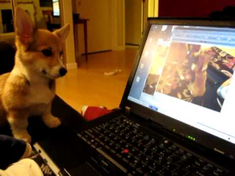 Kira, our cute corgi puppy, watching us upload videos