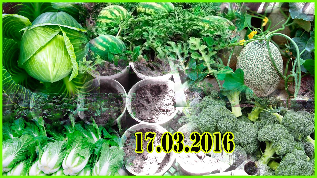 Выращивание арбуз в домашних условиях