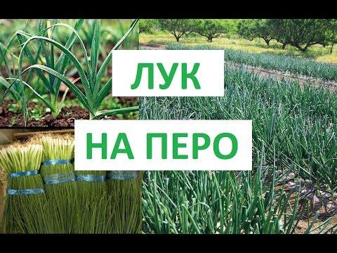 Технология выращивания лука из семян на перо 68