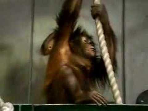 080609旭山動物園~チンパンジー