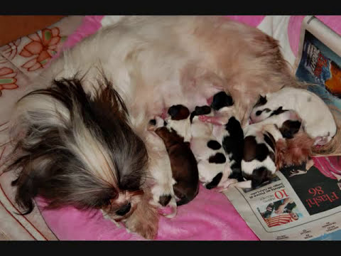 Perritos Shih Tzu.wmv