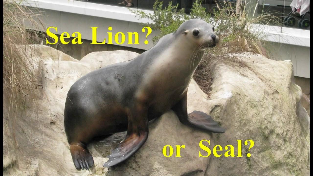 Sea lion vs leopard seal