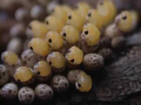giant water bugs hatching lethocerus medius youtube